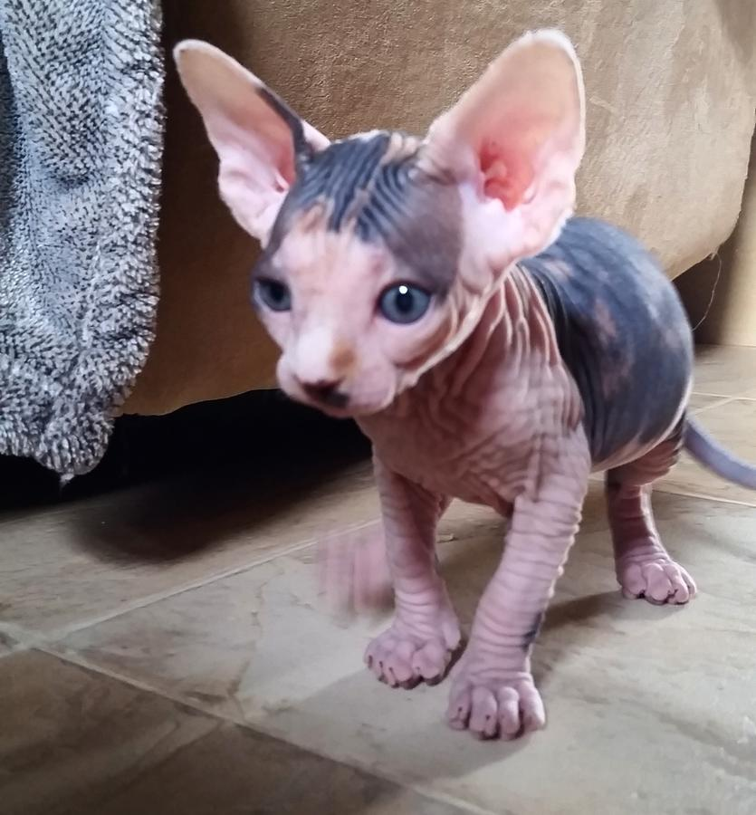 Hermosos gatitos Sphynx