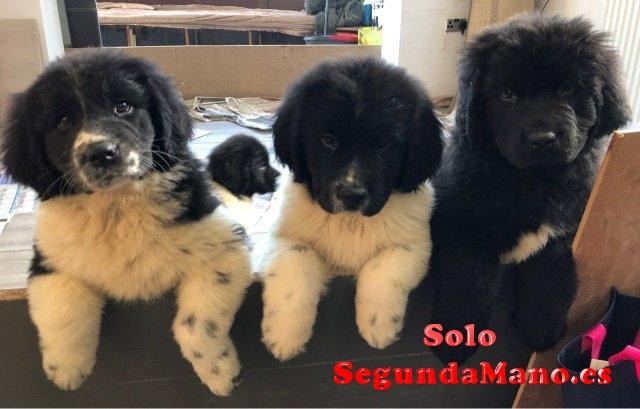 Increíbles cachorros de pura raza Newfoundland
