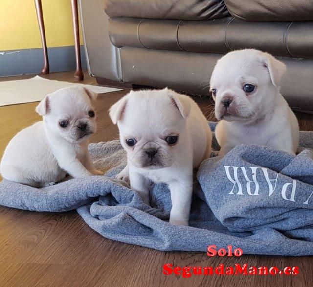 Inicio Raised Pug Puppies para la venta.