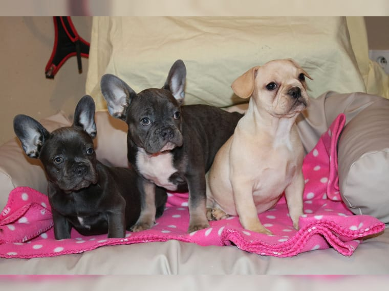 Korokoro cachorros de bulldog francés en busca de una nueva