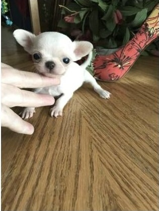 Machos y dos hembras cachorros Chihuahua mini juguete Para