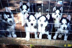 Perrito del husky siberiano de AKC para volver a nacer