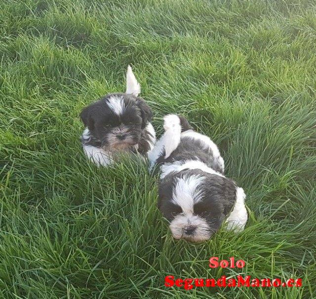 Purebreed Shih Tzu Puppies para la venta.