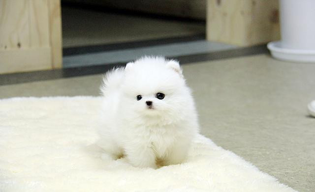 Regalo Pomerania Cachorros disponibles