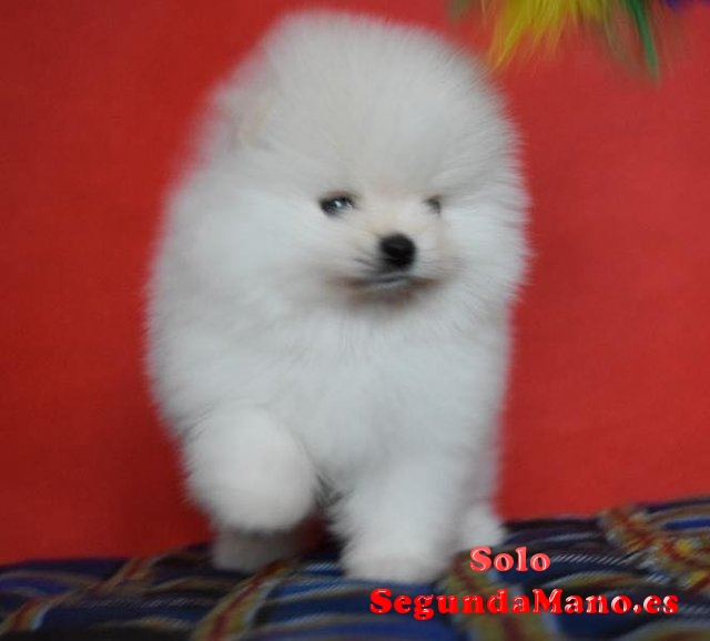 Teacup Pomeranian Puppies Para la venta.