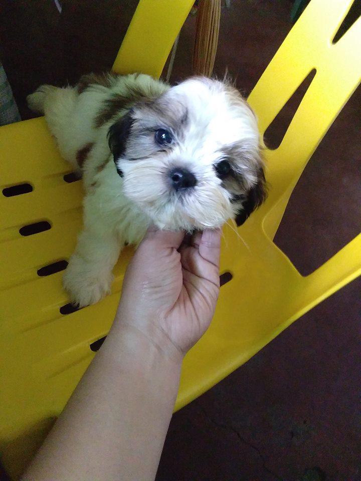 precioso y simpatiquisimo cachorrito de shih tzu