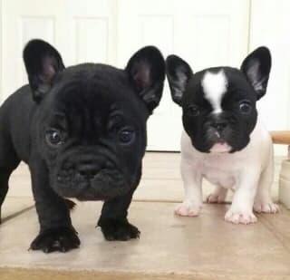 tenemos un hermoso bulldog francés