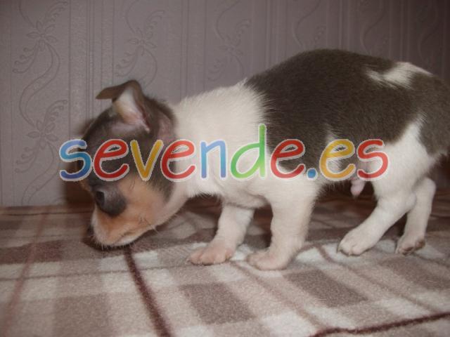 perritos de Chihuahua de pelaje suave de pura