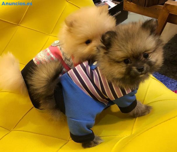 Pomeranians Cachorros Para AdopcióN