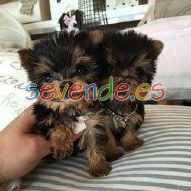 Adorables cachorros Yorkie para adopción
