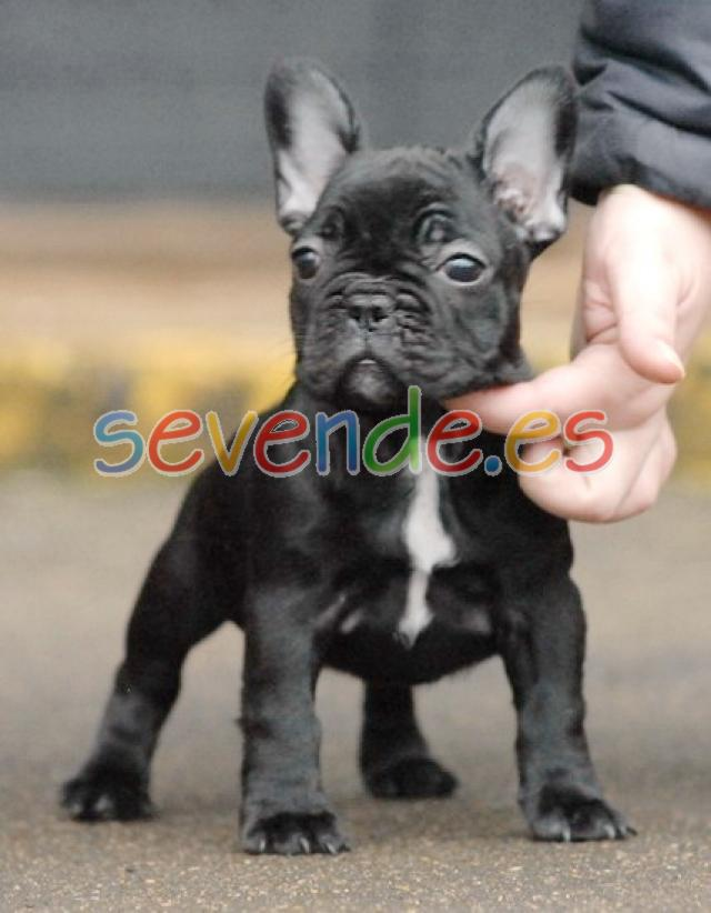 Preciosos cachorros de bulldog francés para a