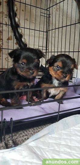 Cachorros de yorkshire terrier - A Coruña Ciudad