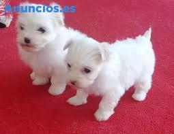 Dos Cachorros De Taza De Té Malteses Necesitan Una Nuev