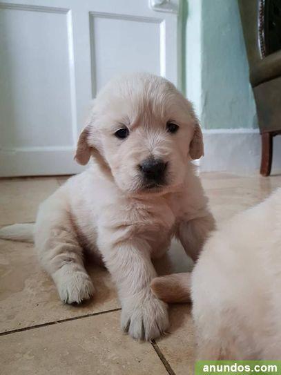 Cachorros golden retriever en venta - Hospitalet de