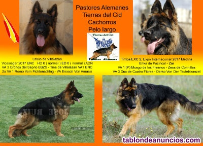 Cachorros pelo largo pedigree