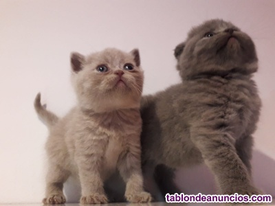 Gatitos british y scottish fold