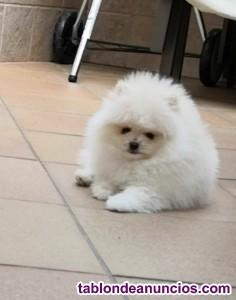 Cachorrito pomerania hijo de shiao li ya