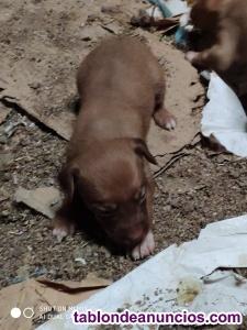 Cachorros preciosos cruce de razas