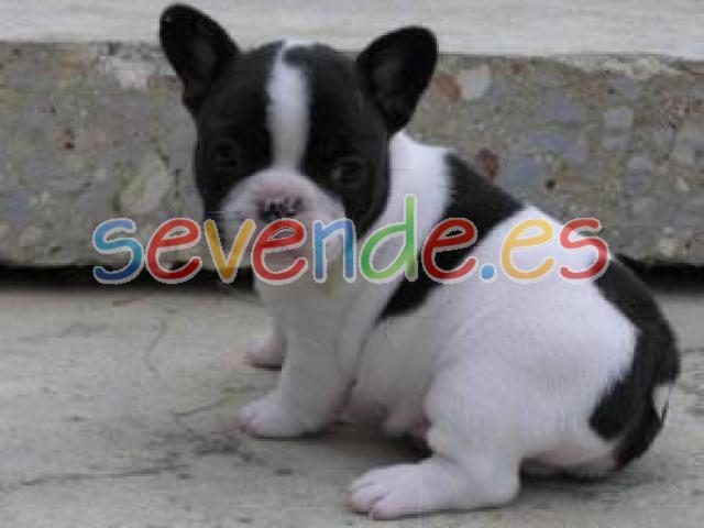 Cachorros de bulldog francés para la venta
