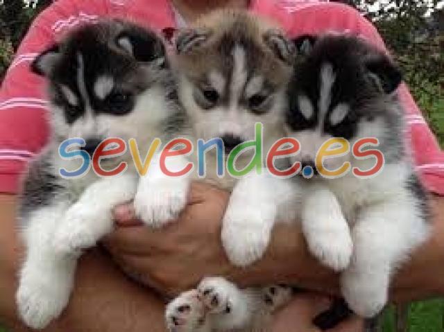 Ojos azules cachorros husky siberiano para l