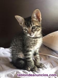 Se regalan gatitos. Aun no han nacido. Se esperan pronto