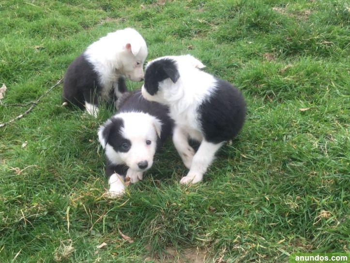 Hermosos cachorros de border collie - Cangas del Narcea