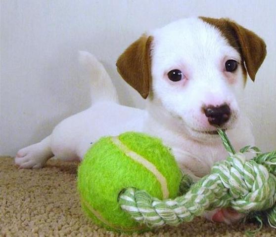 Regalo Cachorros Pura Raza Jack Russell para adopcion libre