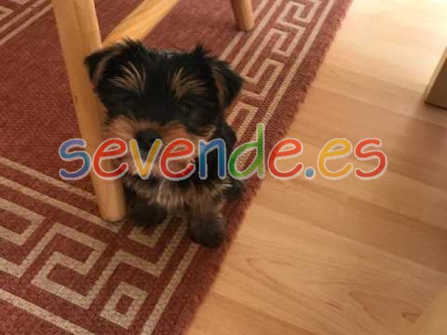 Regalo yorkshire terrier cachorroslibre