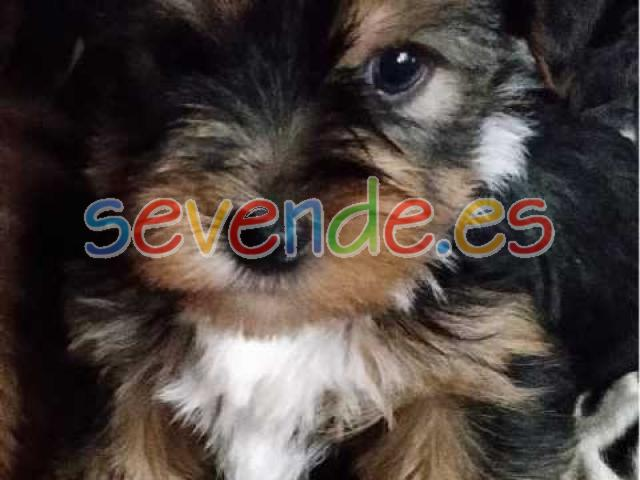 Regalo yorkshire terrier yorkie cachorros cac