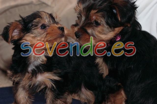 regalo Preciosos cachorritos de Yorkshire To