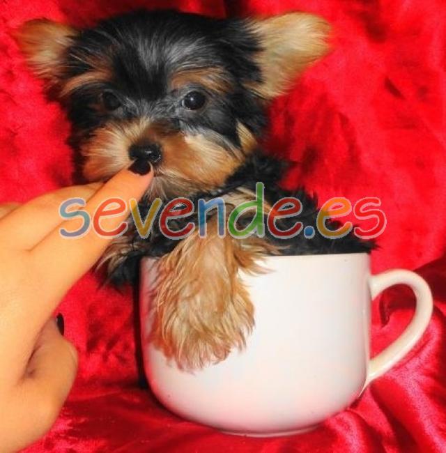 regalo cachorros yorkshire terrier para adopc