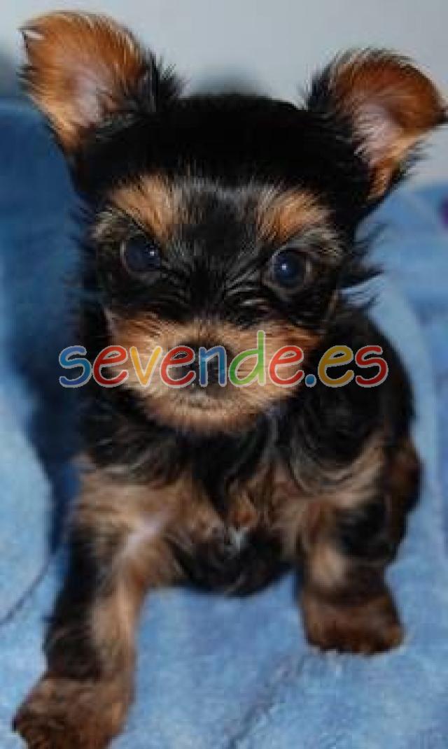 regalo grande y preciosa cachorro yorkshire