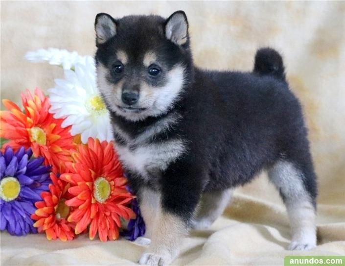 Regalo macho y hembra cachorros shiba inu para la adopción