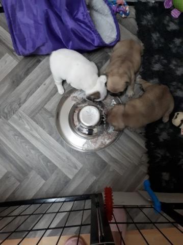 Nos enorgullece anunciar a la venta dos cachorros de Bulldog