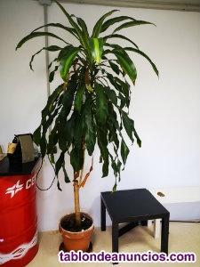 Planta natural de más de 2 metros posibilidad de transporte