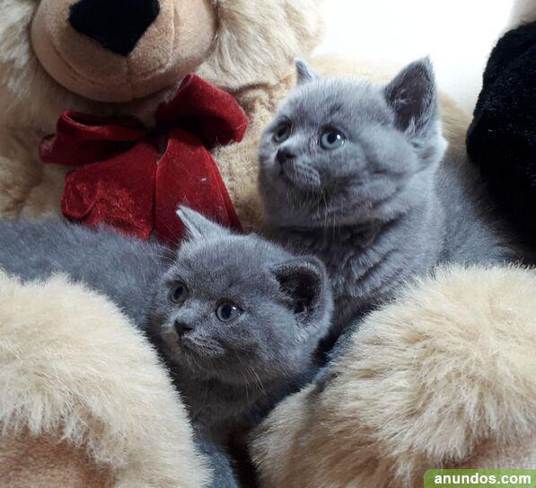 Agatha azul bsh gatitos nacidos el 10 de marzo de  -