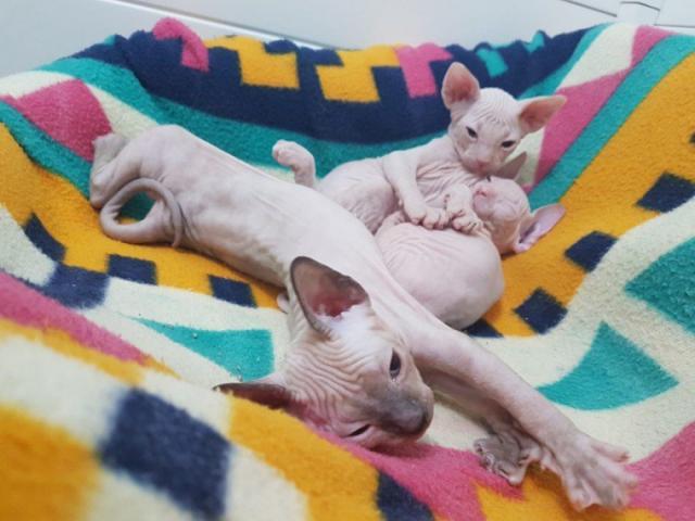 Listo Don Sphynx gatitos con ojos azules