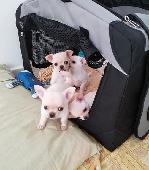 2 pequeños Chihuahua a la venta! un niño y una niña