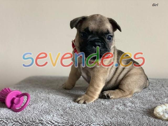 Bulldog francés cachorros para adopción