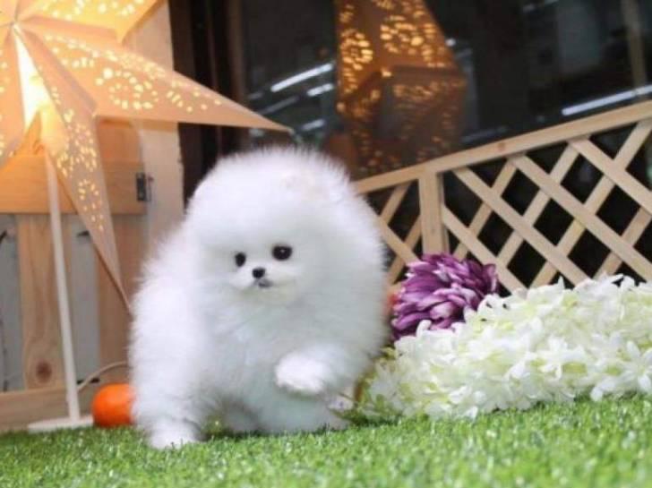 Cachorros de Pomerania de raza pura disponibles dfad