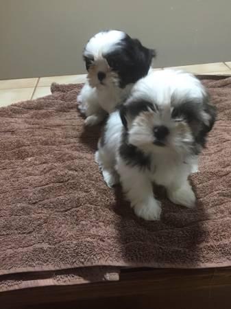 Cachorros de Shih Tzu mini toy de 12 semanas con excelente