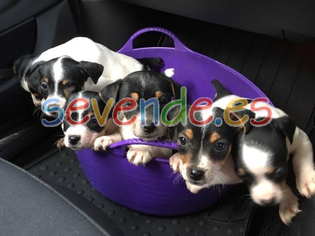 Jack Russel cachorros especiales AKC