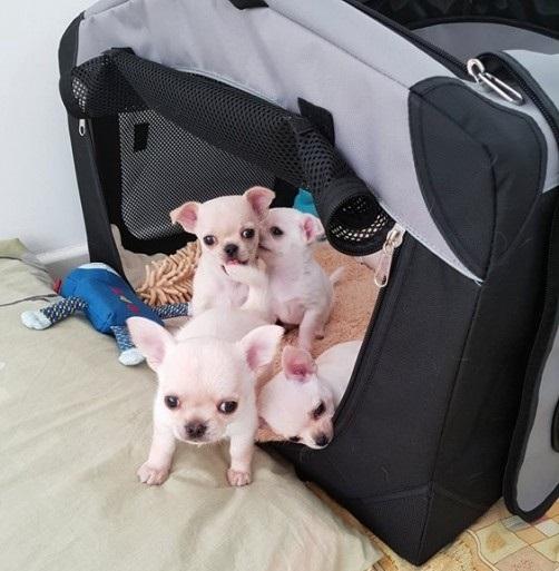 REGALO Cachorros De Chihuahua Registrados