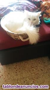 Se vende gato persa