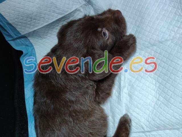 Labrador de 2 meses y medio