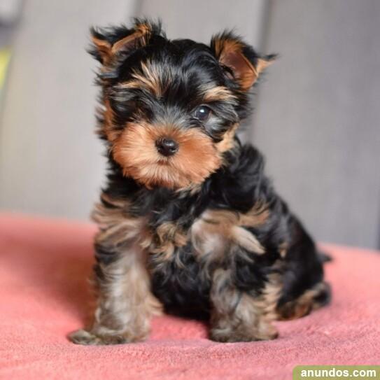 Regalo machos y hembras cachorros de yorkie para adopcion -