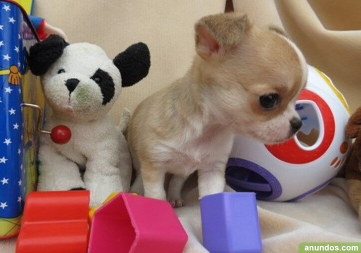 Regalo mini toy cachorros de raza chihuahua para adopcion -