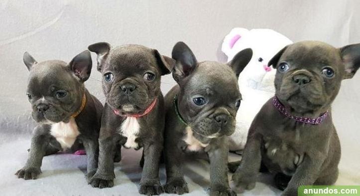 Adopción de cachorros de bulldog francés - Alquerías del