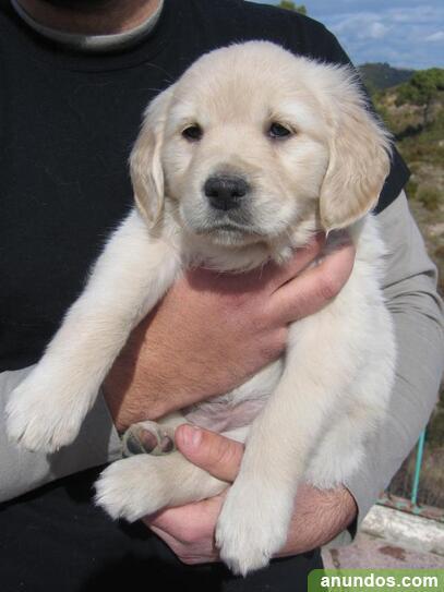 Cachorros golden retriever ya disponibles - Arraya-Maestu
