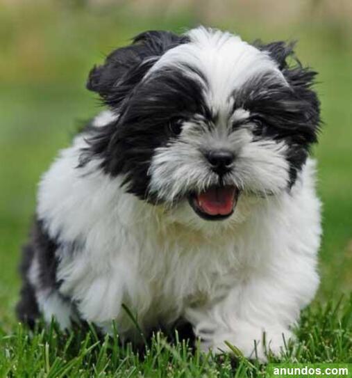 Increíbles cachorros de shih tzu - Aceituna